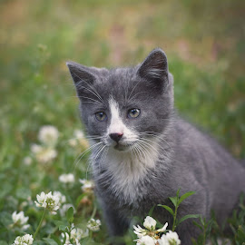 Grey kitten by Eglė Eglė - Animals - Cats Kittens ( grey cat, kitten, cat, grass, flowers, kitty )
