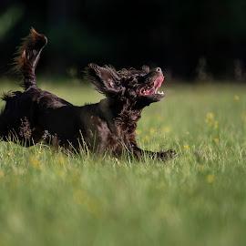 Happy by Ronnie Bergström - Animals - Dogs Running ( green, nature, happy, sun, summer, running, hund, lycklig, sweden, grass, dogs, animal, animals, dog )