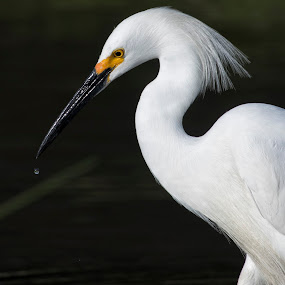 Snowy Egret, Water  by Cody Hoagland - Animals Birds ( utah, egrets, birds )