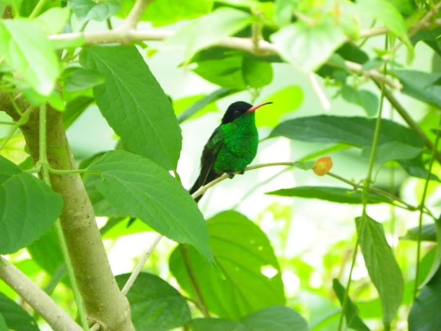 Long-tailed Hummingbird in Jamaica by Debbie Klassen - Animals Birds
