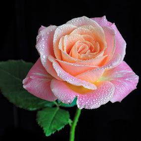 by Irena Gedgaudiene - Flowers Single Flower