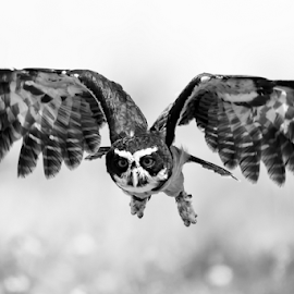 Speckled Owl by Keith Sutherland - Black & White Animals ( owl, nature, bird, speckled owl )