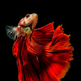 Let's Dance by Arya Suartawan - Animals Fish ( #beta #animal #fish #macro #photography )