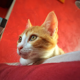curious kitten! by Enry Ci - Animals - Cats Kittens ( domestic, kitten, feline, curious, cat, animal, funny, nice )