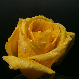 Yellow Rose Of Texas 3 by Dave Walters - Flowers Single Flower ( yellow rose, enchanting, nature up close, myan, gold, flowers, lumix fz2500 )