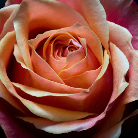 In the petals by Camruin Kilsek - Nature Up Close Gardens & Produce ( rose salmon )