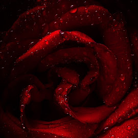 Rose by Salman Ahmed - Flowers Single Flower ( love, rose, red, nature, fresh, drops, flower )