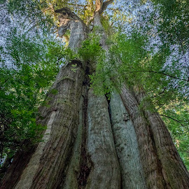 Ancient cedar by Eva Krejci - Nature Up Close Trees & Bushes ( ancient red, nature, color, trees, cedar, big, tall )