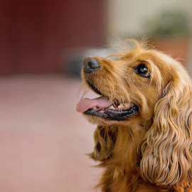 Waiting by Witold Steblik - Animals - Dogs Portraits ( nature, dog portrait, brown, dog, portrait, animal )