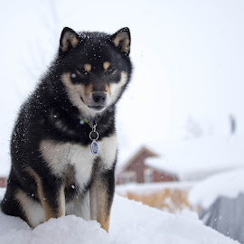 Maple sitting on the woodpile by Chad Roberts - Animals - Dogs Puppies ( winter, shiba inu, cold, wood, snow, dog, maple )
