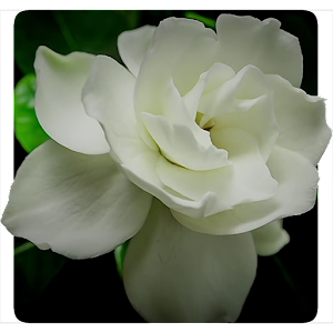 Flowers Video Live Wallpaper