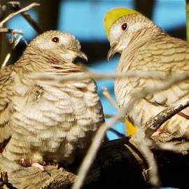 Doves sitting in a tree by Donna Probasco - Novices Only Wildlife (  )