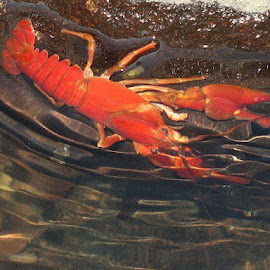 Crayfish Go Round by Janet Young- Abeyta - Animals Amphibians