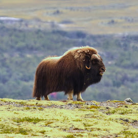 Musk ox by Roald Heirsaunet - Animals Other