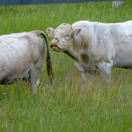 by Cynthia Dodd - Novices Only Wildlife ( animals, nature, grass, farmland, cows )