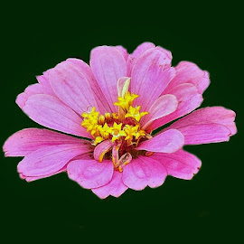 Flower with black background by Mary Gallo - Digital Art Things ( digital, digital photography, pink, nature, nature up close, pink flower,  )