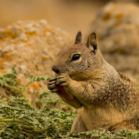 by Paul Scullion - Animals Other Mammals ( samll, eating, squrriel, cute, mammal,  )