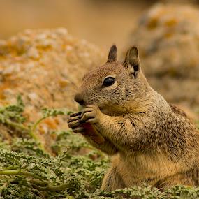 by Paul Scullion - Animals Other Mammals ( samll, eating, squrriel, cute, mammal,  )
