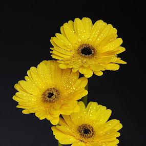 by Kamelia Dandapat - Flowers Flower Arangements ( water, water drops, macro, arrangement, three, yelllow, flowers, gerbera, close-up, floral, droplets,  )