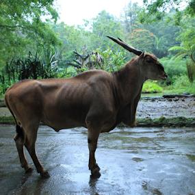 Sexy Mammals by Ahmat Supriyadhi - Animals Other Mammals ( zoo, cow, mammal, deer, animal,  )