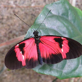 Butterfly by Nancy Young - Animals Insects & Spiders ( butterfly, red and black, colorful, insect, animal )