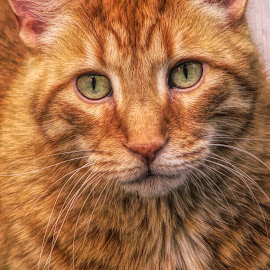 Yeaggy by Sandy Considine - Animals - Cats Portraits ( cat, orange cat, green eyes,  )