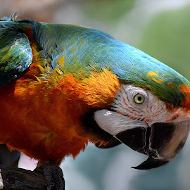 Rainbow Parrot II by Shawn Thomas - Animals Birds