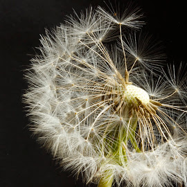 Dandelion Clock Detail by Glyn Lewis - Nature Up Close Other plants ( macro, dandelion, clock,  )
