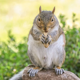Squirrel and Nut by Kathy Jean - Animals Other Mammals ( squirrel, mammal, squirrel with nut, grey squirrel, animal )