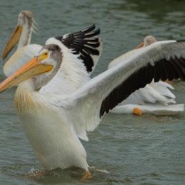 Walk On Water by Sheen Deis - Animals Birds ( water birds, marsh birds, nature, action, birds, large birds, pelicans )