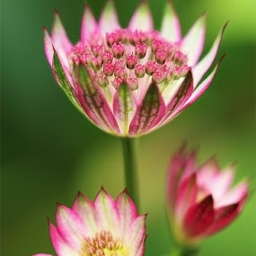 Summer magic by Azzeria Photography - Nature Up Close Flowers - 2011-2013 ( astrantia azzeria photography macro flower close-up dof depth of field pink green )