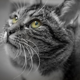 Mira by Stian Krane - Animals - Cats Portraits ( qute, fur, cat, eyes, pet )