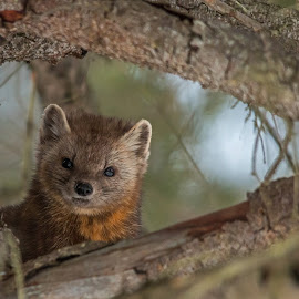 I See You! by Steve Dunsford - Animals Other Mammals ( canada, ontario parks, wildlife photography, wildlife, ontario, forest, marten, american pine marten, pine marten, winter, nature, algonquin, outdoor, nature photography, algonquin park, animal )
