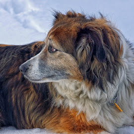 Sage in the Snow - 5295 by Twin Wranglers Baker - Animals - Dogs Portraits