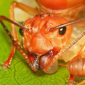 kepala ratu semut.jpg
