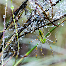 by Judy Rosanno - Nature Up Close Natural Waterdrops ( texas green lynx spider, web, egg sac, natural water drops )