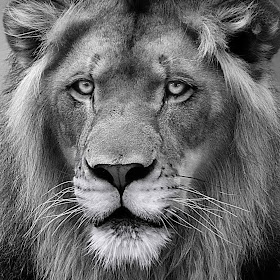 Lion Regal final bw (Mar 18) NR tight2 right.jpg
