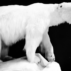 WINTER BEAST by Debra Singleton - Novices Only Wildlife ( bear, animals, black and white, wildlife )