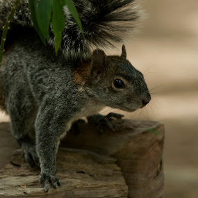 Squirrels  by Cristobal Garciaferro Rubio - Animals Other ( tree, squirrels, squirrel )