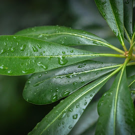 Tropical Leaves by Robert Coffey - Nature Up Close Leaves & Grasses ( plant, green, stem, waterdrops, leaves )