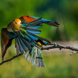 Bee-eaters by Stanley P. - Animals Birds