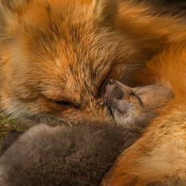 Sleeping Beauty by Steve Dunsford - Animals Other Mammals ( fox, wildlife photgraphy, canada, ontario parks, fox kit, wildlife, ontario, portrait, mammal, red fox, nature, algonquin, outdoor, algonquin park, animal )