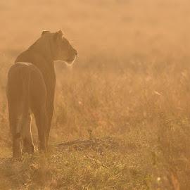 Stalking by Andrew Morgan - Animals Lions, Tigers & Big Cats ( predator, lion, grass, serengeti, safari, hunting, sunrise, africa, light )