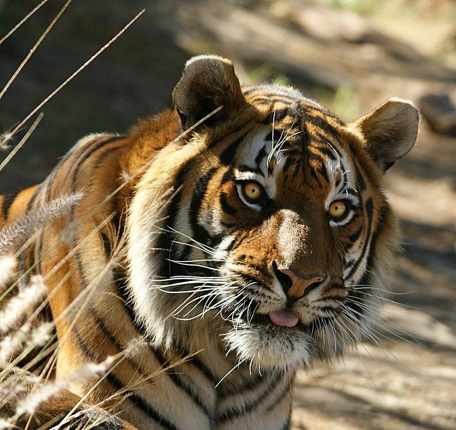Tiger stare by Charmane Baleiza - Animals Other Mammals ( charmane baleiza, big cats, male tiger, tiger, wildlife )