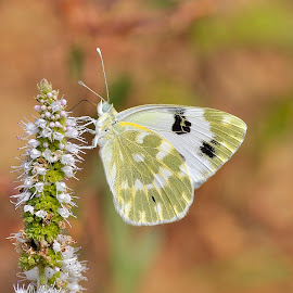 The Bath White (1) by Ricardo Costa - Animals Insects & Spiders ( butterflies, lepidoptera, portugal )