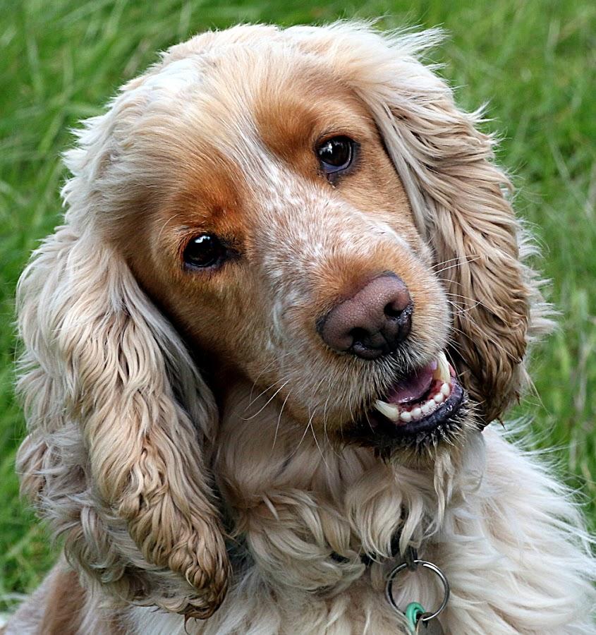 Oscar, the Cocker Spaniel by Chrissie Barrow - Animals - Dogs Portraits ( spaniel, pet, brindle, male, ears, dog, nose, teeth, portrait, tan, cream, eyes,  )