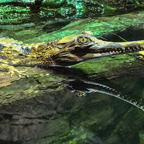 by Judy Rosanno - Instagram & Mobile iPhone ( tomistoma hatchling,  )