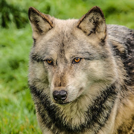 Wolf by Garry Chisholm - Animals Other Mammals ( garry chisholm, canid, nature, wolf, wildlife )