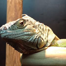 iguana by Patrizia Emiliani - Animals Reptiles ( iguana )