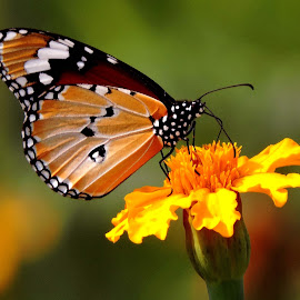 BUTTERFLY by SANGEETA MENA  - Animals Insects & Spiders